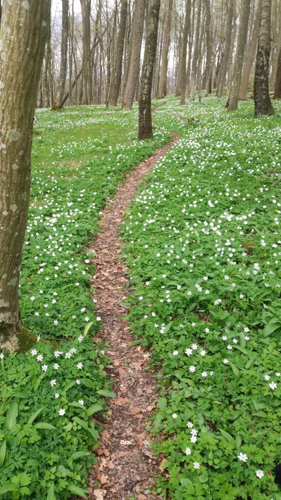 Smal trail surrounded by wood anemone in forest,