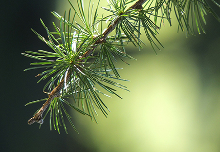 Close up on pine branch. Photo.
