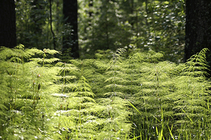 Ferns in sunlight. Photo.