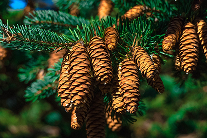 Close up on fir cones. Photo.