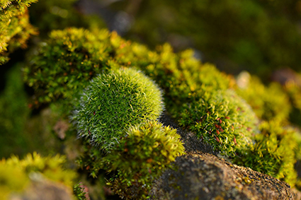 Close up on moss. Photo.
