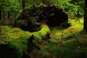 Fallen tree in forest covered in moss. Photo.