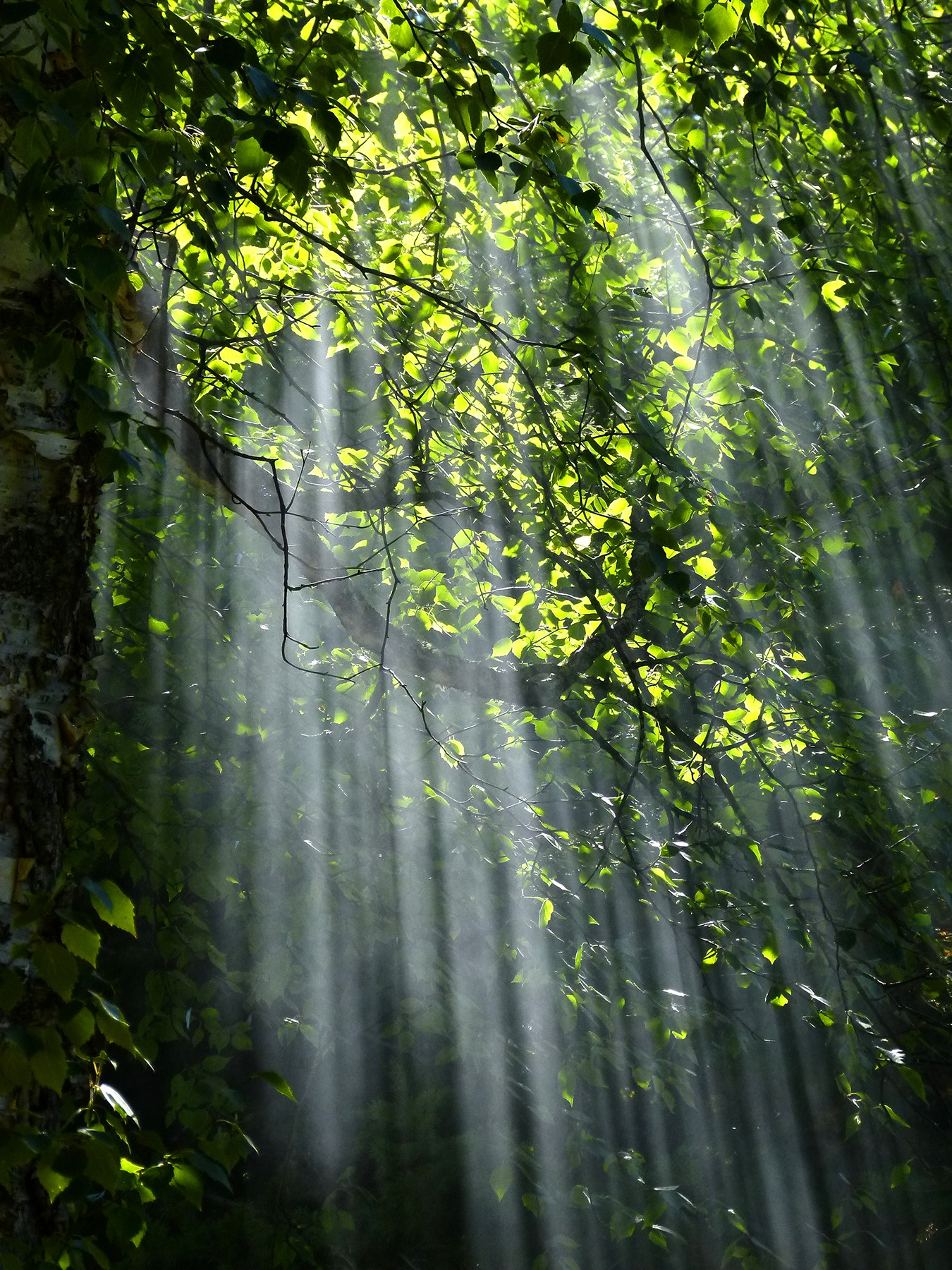 Sun shining through branches in forest. Photo.