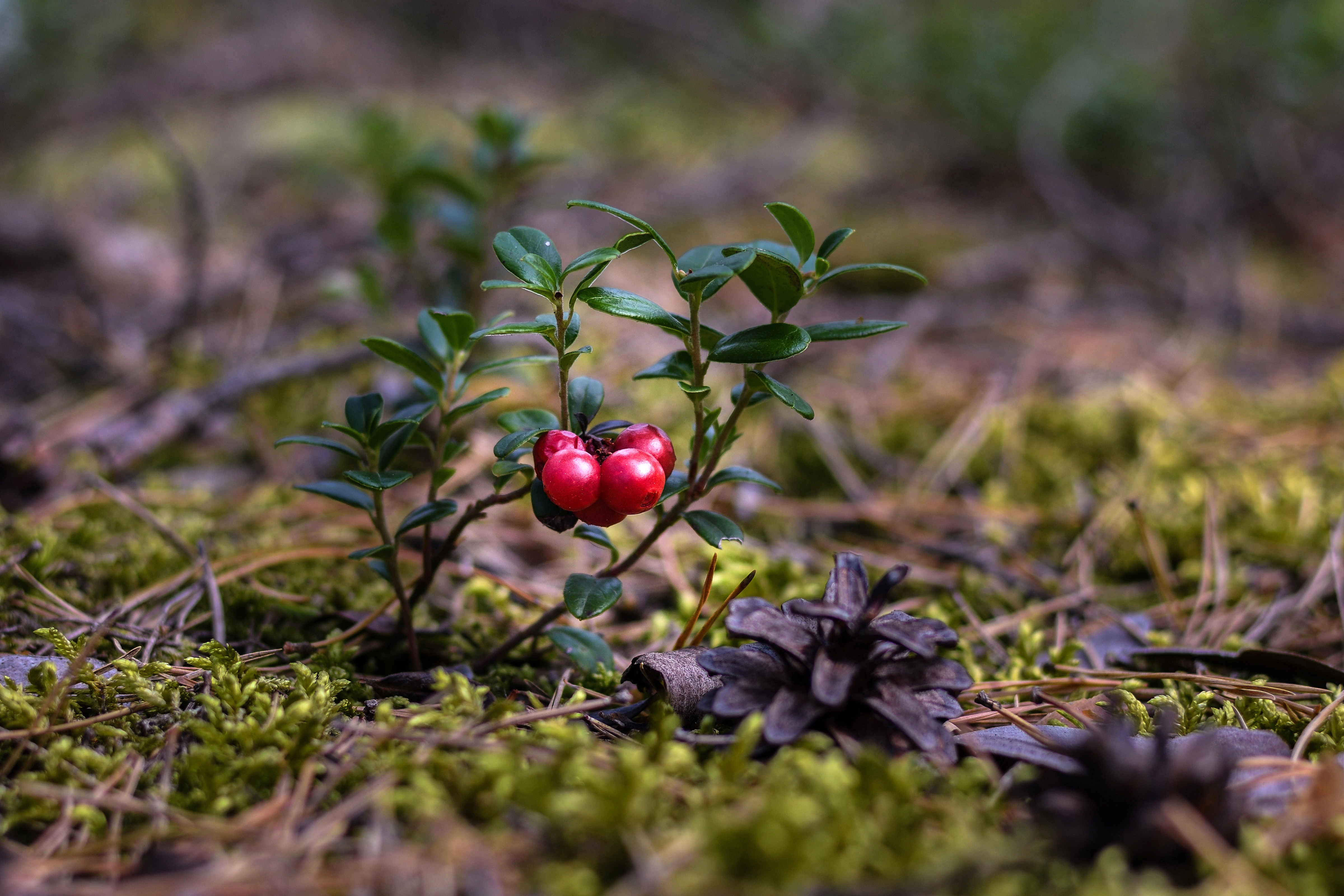 Red berries growing in moss. Photo