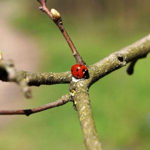 Ladybug on stick. Photo.