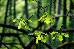 Oak leafs on thin branch and blurred forest in the background. Photo.