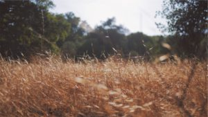 Dry field in forground, trees in background. Photo.
