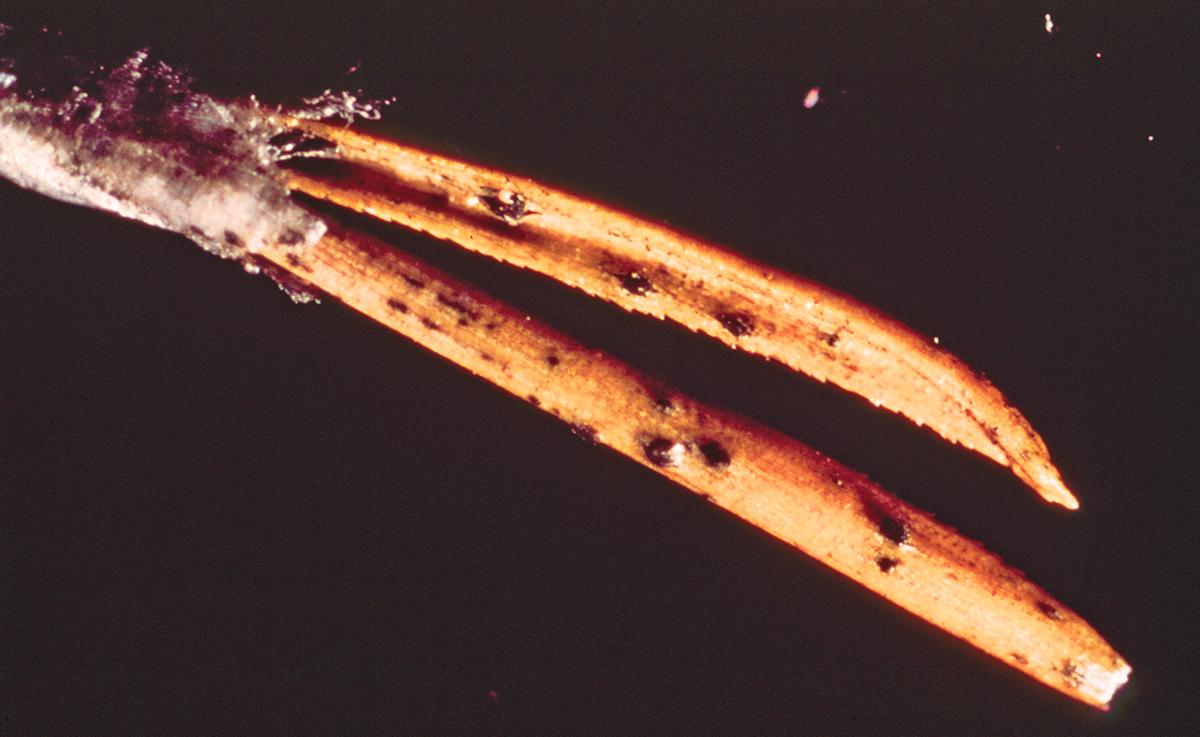 Fir needle (pine) close up. Photo.