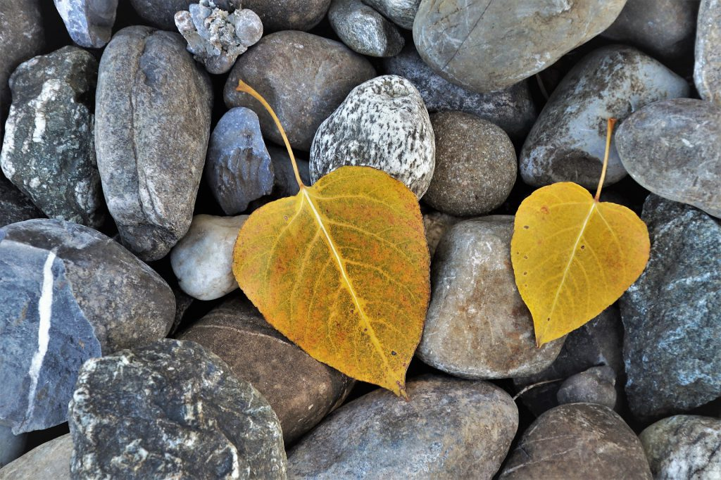 Two yellow leaves lying on small rocks. Photo.
