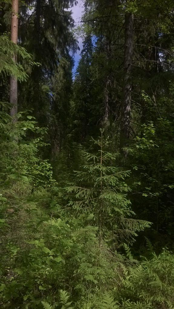 Dark forest. Photo.