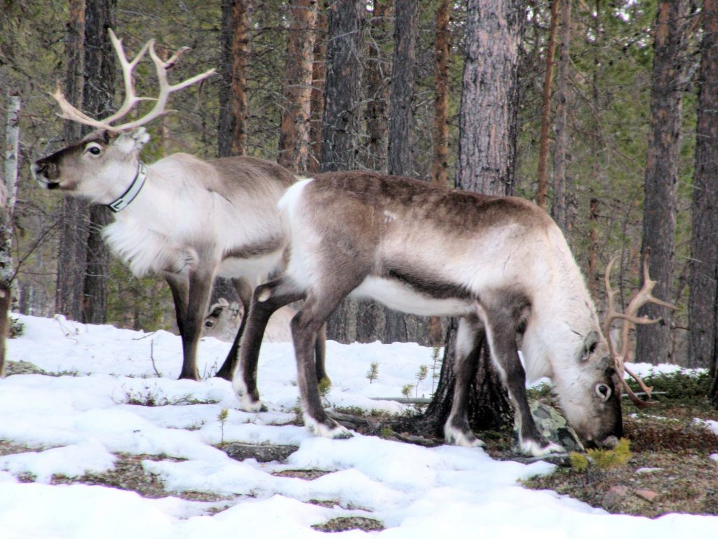 Two reindeers in snowy forest. Photo.