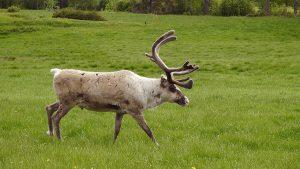 Reindeer on a green field. Phtot.