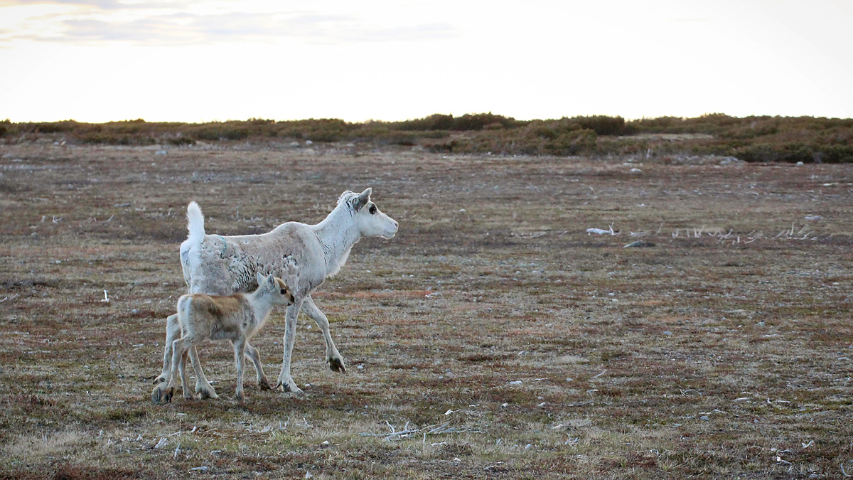 Reindeer and calf walking in a open field. Photo.