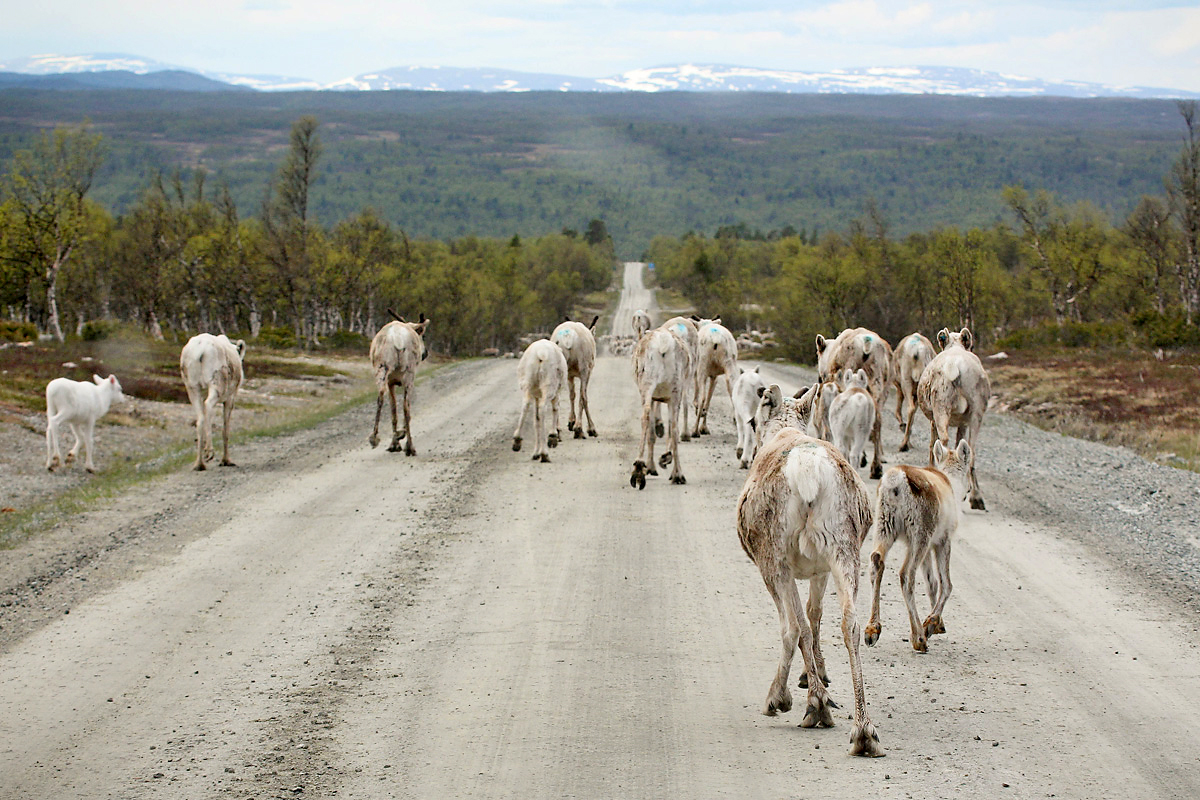 Scenic view of reindeers walking on a road. Photo.