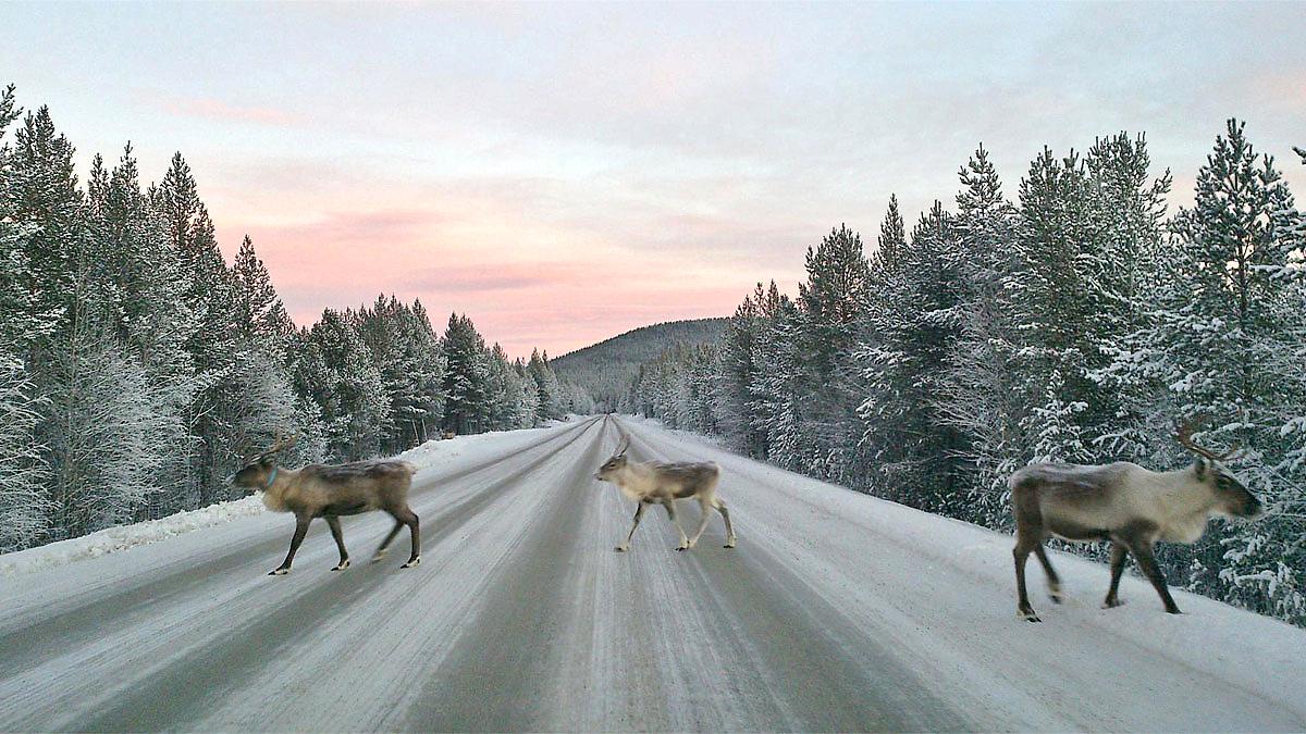 Reindeers crossing a road in winder landscape. Photo.