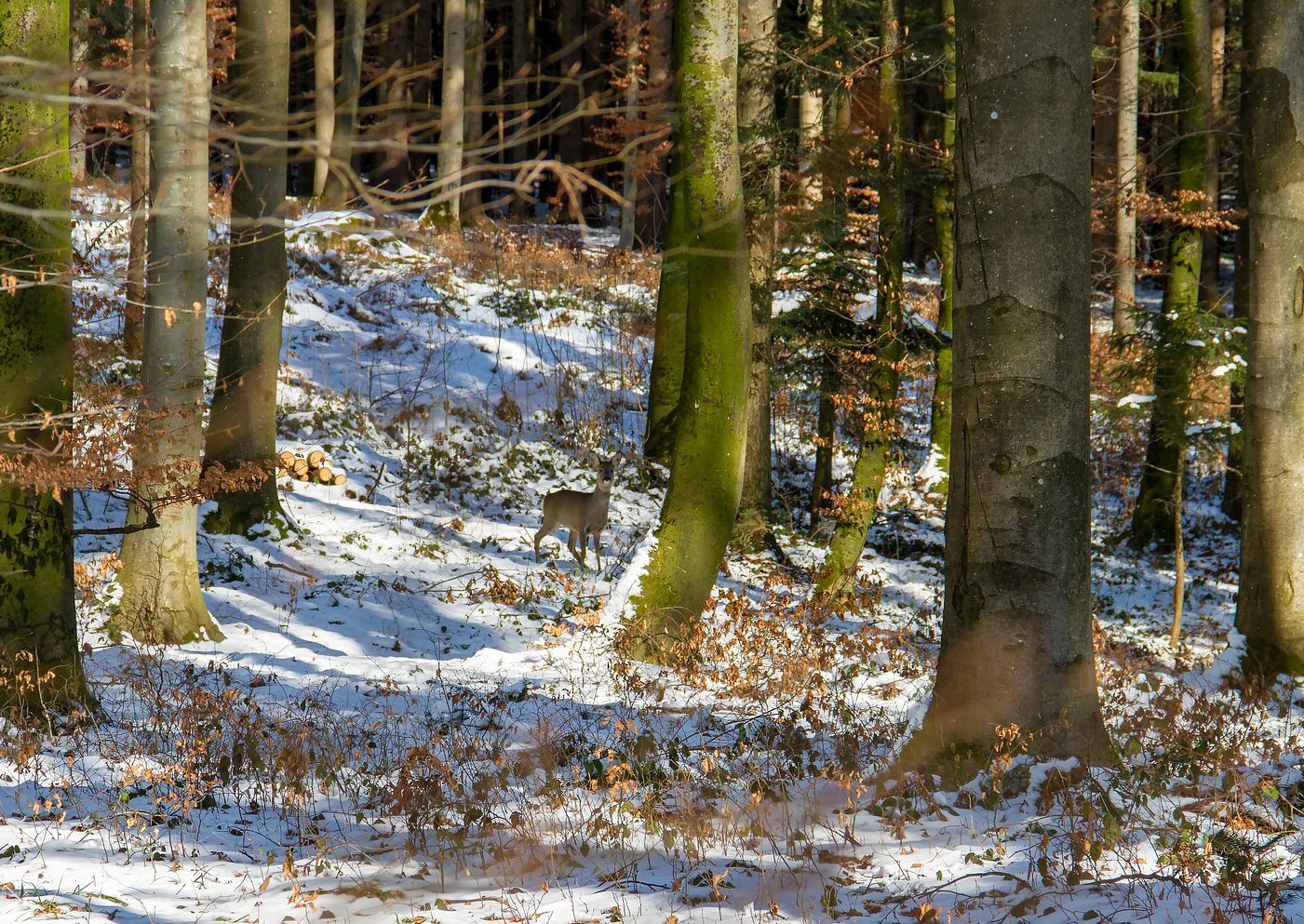 Spruce forest, some snow on the ground and a deer in far sight. Photo.