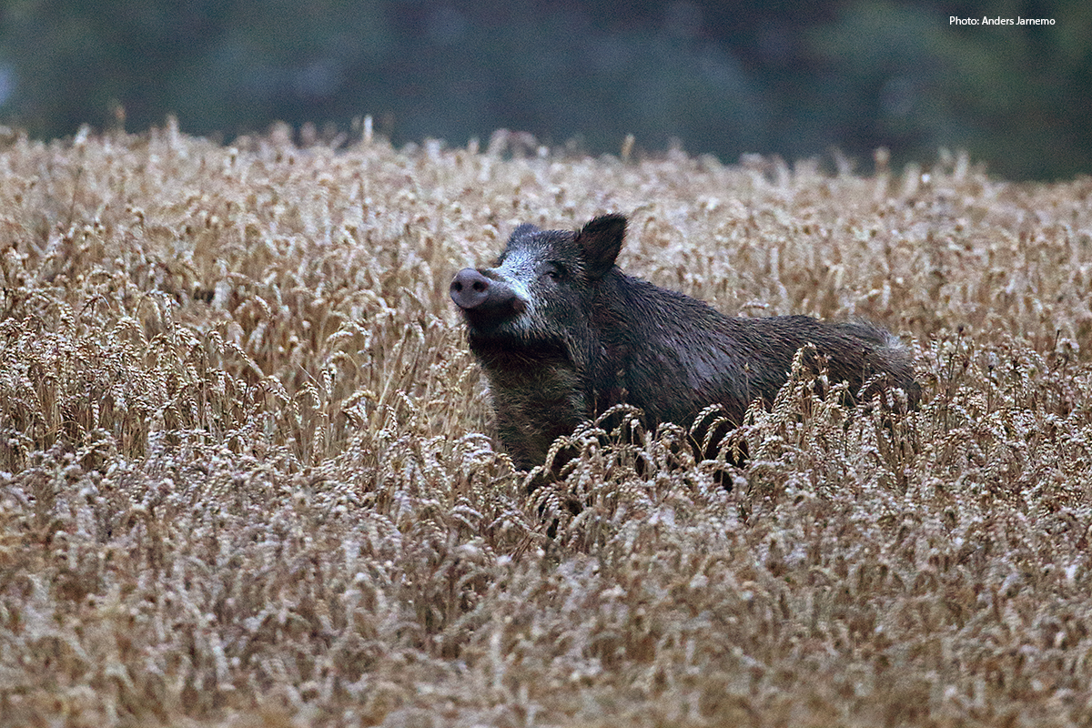 Towards a common Nordic management of the wild boar